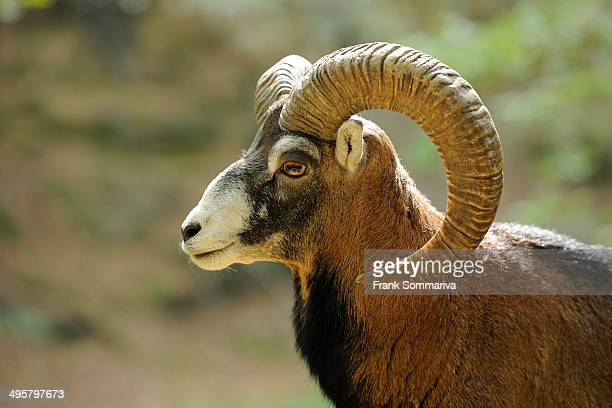 Muflon -Ovis ammon Musimon-, male, ram, portrait, captive, Thuringia, Germany
