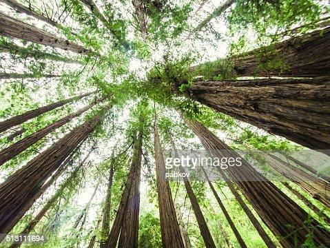 Bosque de Muir, Califórnia, EUA : Foto de stock