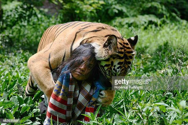 Mulan Jamilah a 6yearold Bengal tiger and Abdullah Sholeh play in the garden beside their home on January 20 2014 in Malang Indonesia Abdullah Sholeh...
