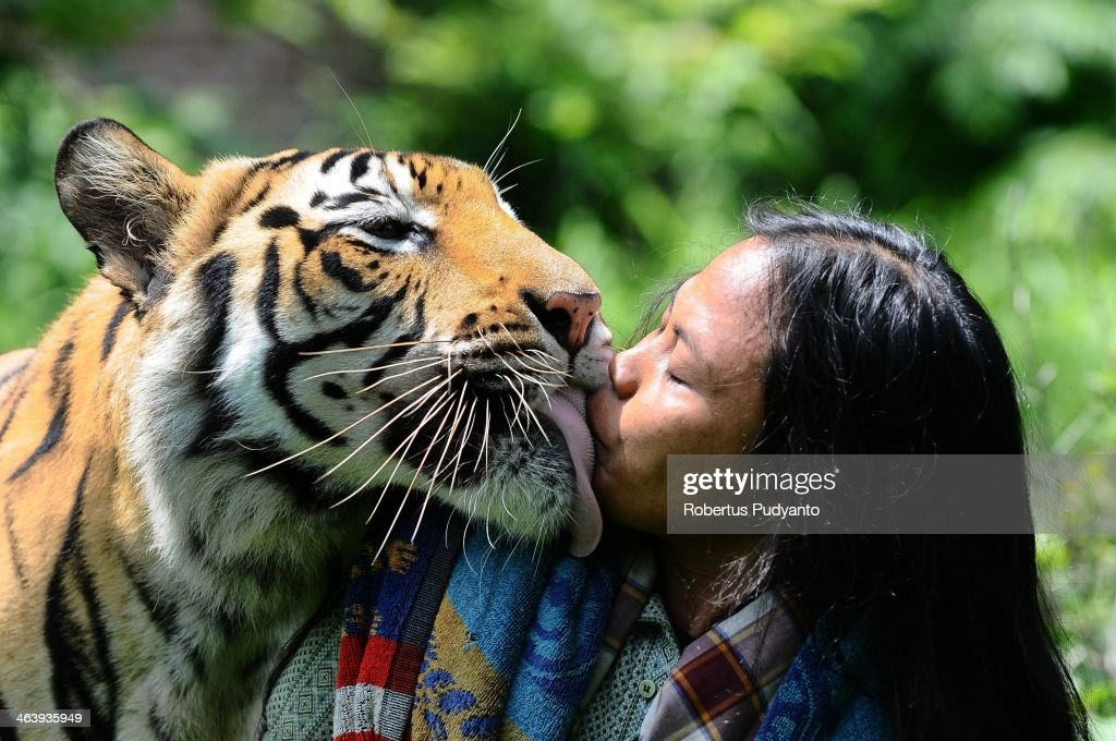 Mulan Jamilah, a 6-year-old Bengal tiger, kisses caretaker Abdullah Sholeh, 33, in the garden beside their home on January 20, 2014 in Malang, Indonesia. Abdullah Sholeh of Malang, Indonesia is an Islamic student who has become best friend and a full-time nanny to the tiger. Mulan's owner, Noer Muhammad Sholeh, 51, asked Abdullah to take care of the tiger when it was a 3-month-old cub at Dilem Village, Kepanjen District, Malang, East Java. Abdullah Sholeh regularly sleeps, plays and fights with the huge tiger. The pair are so inseparable, he often shuns his own bed to sleep alongside the big cat in her enclosure. Mulan now weighs 178 kg, is three meters long including the tail and one meter high. For security reasons, they have had to install metal bars to separate them when they are together in the enclosure. Mulan is fed 6kg of chicken or goat meat twice a day.