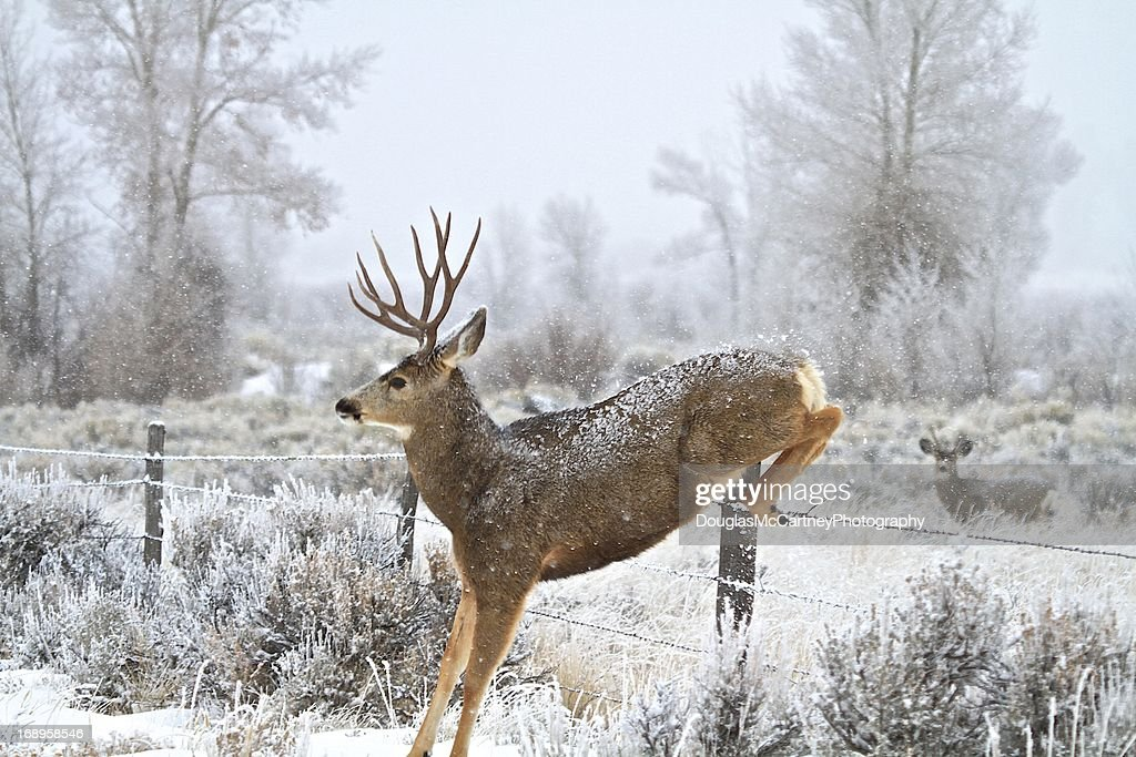 Mule Deer Buck Jumping Fence Stock Photo Getty Images