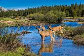 A deer buck is leading his herd through a water pool at Tuolumne Meadows in Yosemite National Park