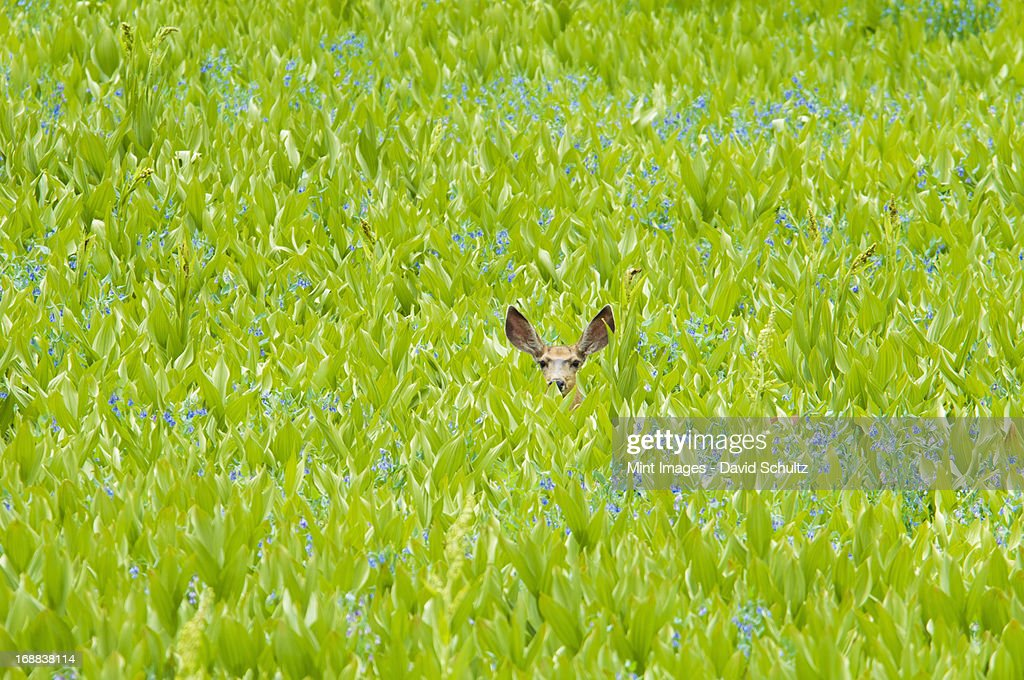 A mule deer hiding in a field of wild flowers and plants, false hellebore. Ears visible. : Stock Photo