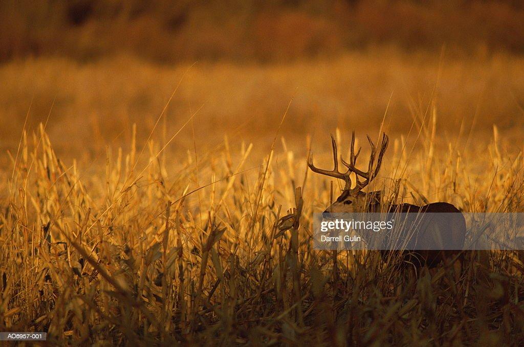 Mule deer (Odocoileus hemionus) in field at sunset, New Mexico, USA : Stock Photo