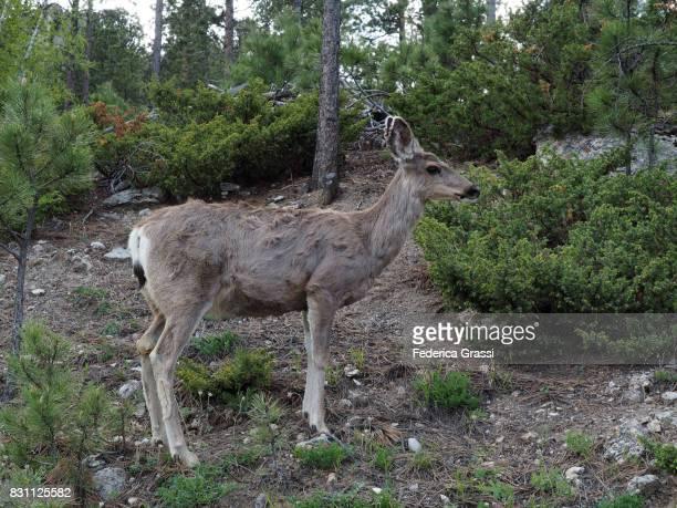 Mule Deer in the Black Hills of South Dakota