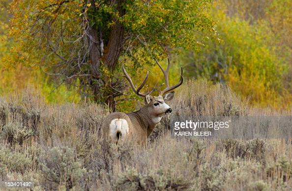 A mule deer in the brush October 4 2012 in the Grand Teton National Park in northwestern Wyoming Approximately 310000 acres in size the park includes...