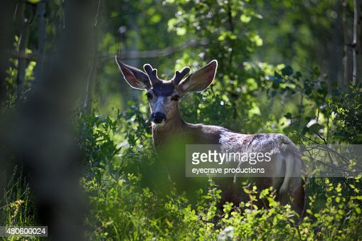 Mule Deer in Western Colorado Natural Habitat : Stock Photo