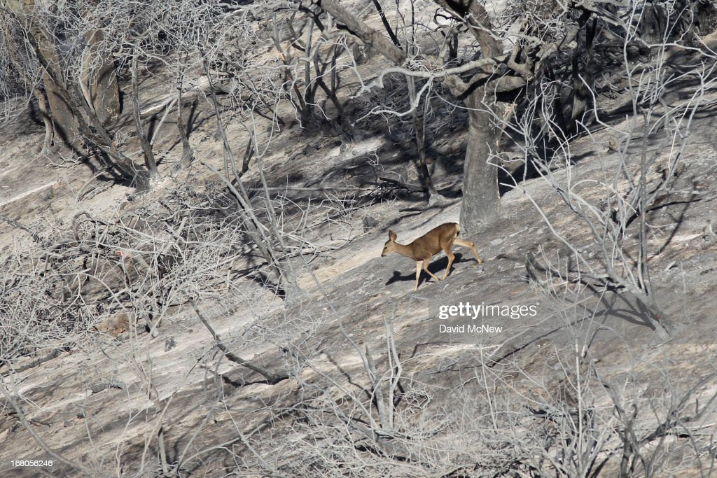 A mule deer walks through the charred remains of an oak forest at the Springs fire on May 4, 2013 near Camarillo, California. Improving weather conditions are helping firefighters get the upper hand on the wildfire which has grown to 28,000 acres and is now 56 percent contained.