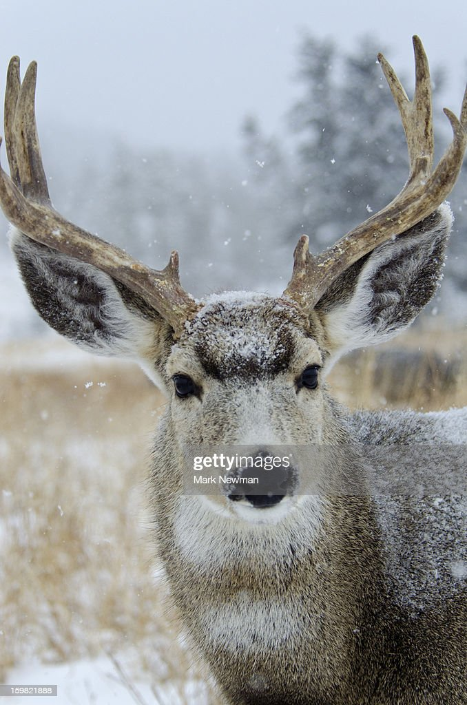 Mule Deer with snow on face : Stock Photo