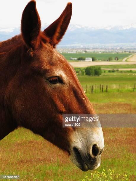 Mule âne Horse profil