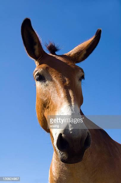 Mule-Gesamtes Gesicht Blick