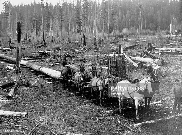 A mule team drags out Douglas fir logs in Mason County Washington 1901