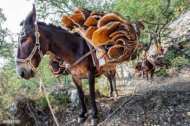 Mules male cork extraction