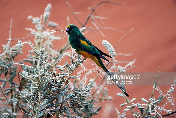 Mulga parrot or Manycolored parrot couple Psittaculidae Uluru National Park Northern Territory Australia