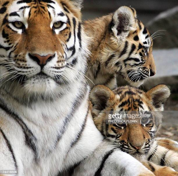 Two Siberian baby tiger named Baikal and Anghara stand next to their mother 06 June 2007 as they make their first public appearance at the zoo in...