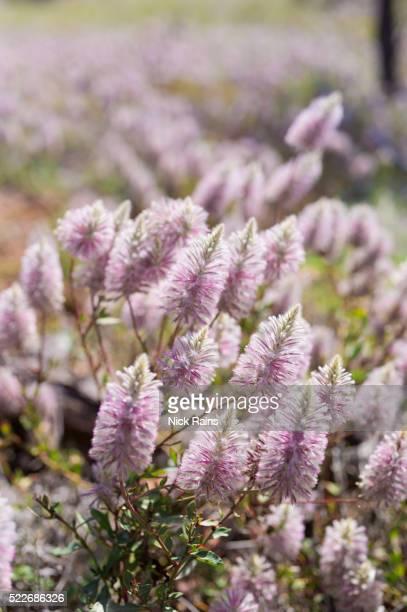 Mulla Mulla flowering in Welford National Park
