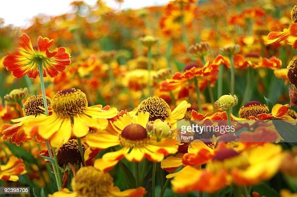multi couleur fond de fleurs de champ Hélénie