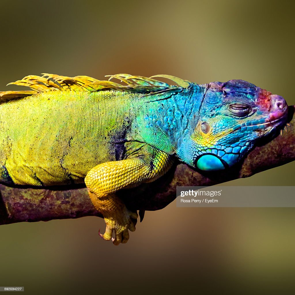 multi colored iguana resting on branch stock photo getty images