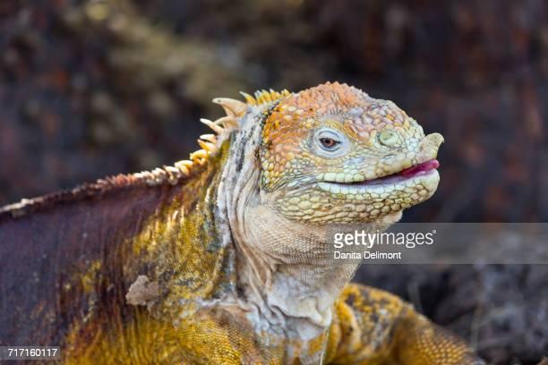 Multi colored skin of Galapagos land iguana (Conolophus subcristatus), North Seymour Island, Galapagos Island, Ecuador
