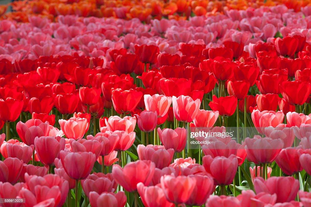 Bunt Tulpen : Stock-Foto