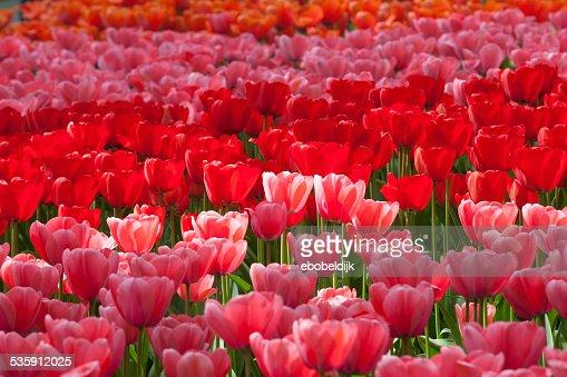 Multi colored tulips : Stock Photo