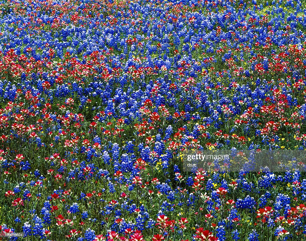 multicololored wildflowers red indian paintbrush and blue