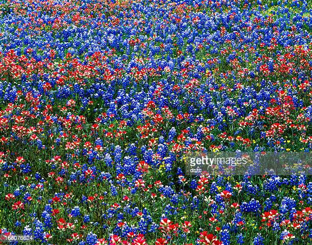 multicololored wildflowers, red indian paintbrush and blue bluebonnets, Texas field