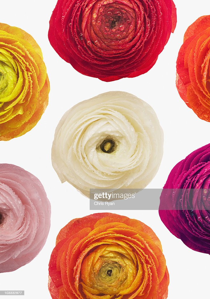 Multicolor ranunculus