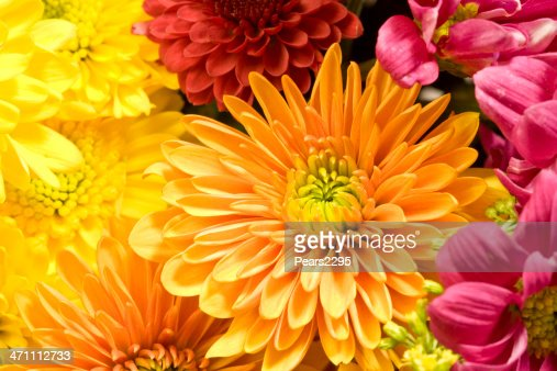 Multicolored Chrysanthemums background