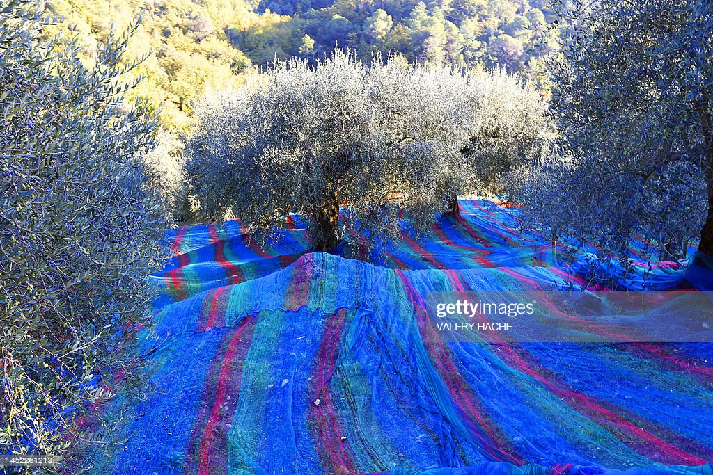Multicolored nets are set under olive trees to collect the olives de Nice on November 27, 2013 in Castagniers, southeastern France.