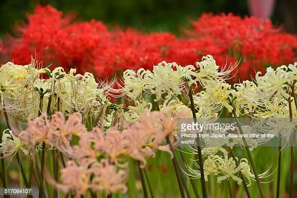 Multi-colored Spider Lily
