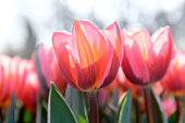 Multicolored tulips. Pink tulips Fresh spring flowers.Colorful. Selective focus used  In garden Keukenhof