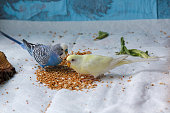Multicolored wavy parrots willingly peck grain. Birds