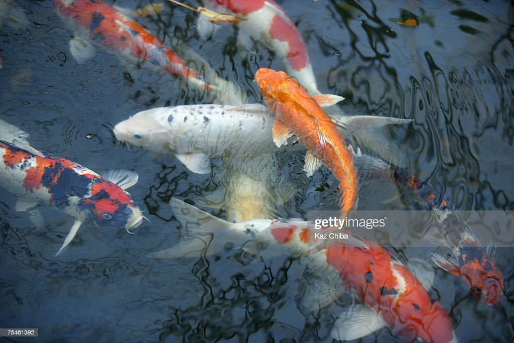 Multicoloured Koi carp in pond, high angle view