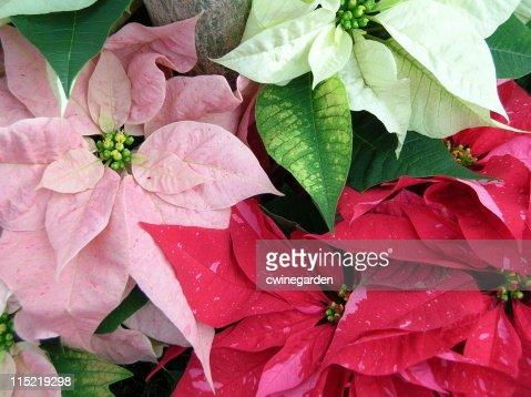 Multiple array of poinsettia colors