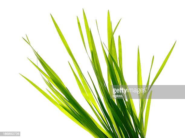 Multiple blades of green grass on a white background