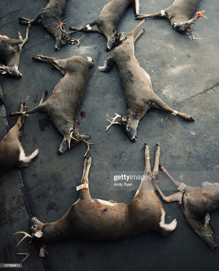 Multiple dead deer laying in driveway. : Stock Photo