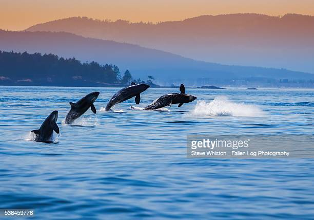 Multiple Exposure of an Orca Whale Jumping in the Ocean