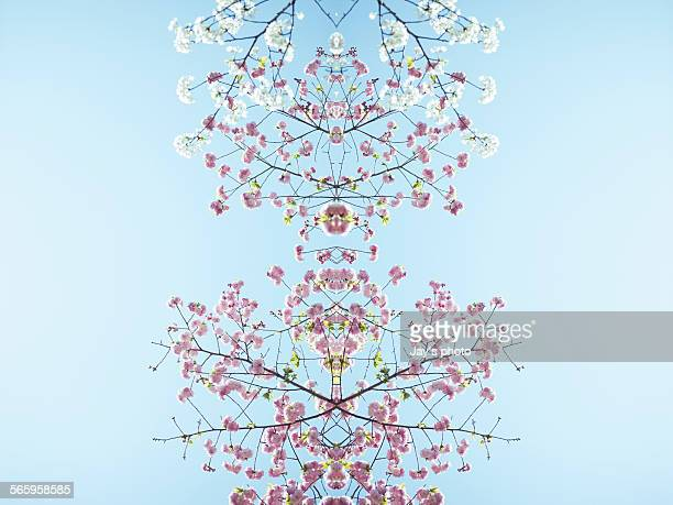 Multiple exposure photography of cherry blossoms