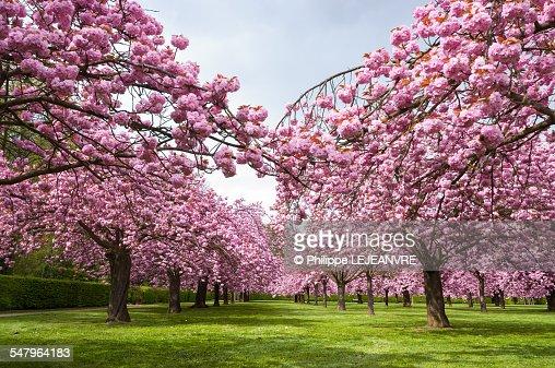 Multiple Japanese Cherry Trees