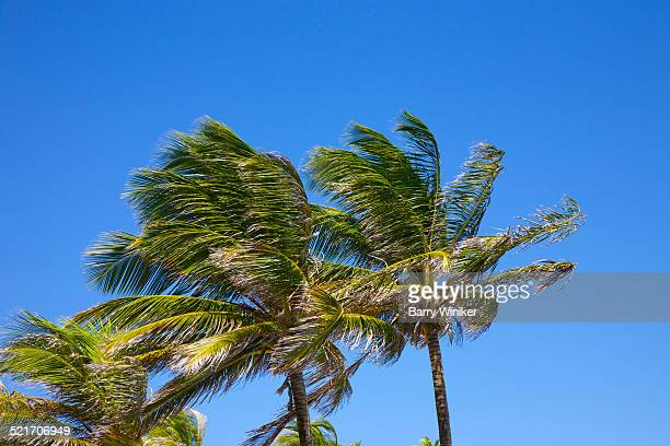 Multiple palms affected by stong winds