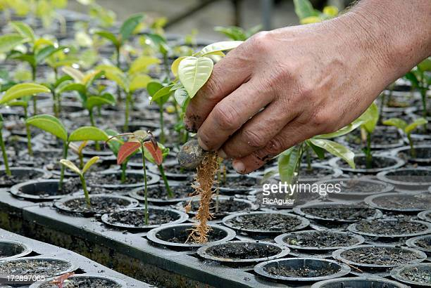 Multiple plants being grown for reforestation