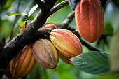Growing cacao