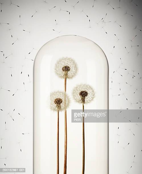 Multiple seeds floating around three dandelions encased bell jar