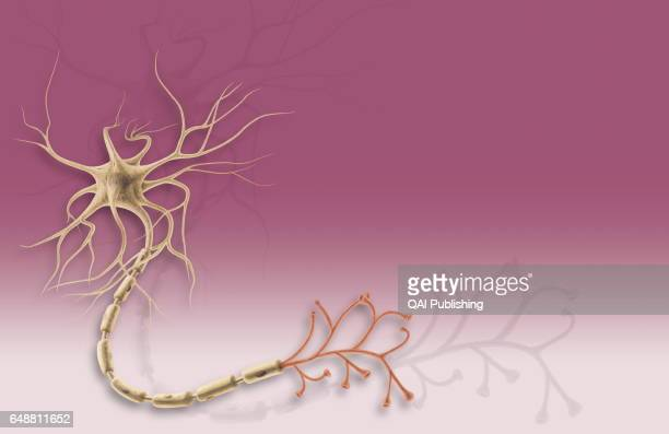 Multipolar neuron It has short dendrites and one long axon