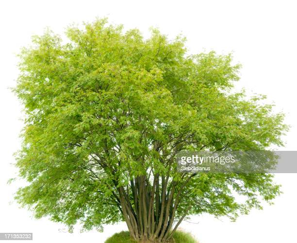 Multi-trunk Shrub (Rowan Tree, Sorbus aucuparia) isolated on white.