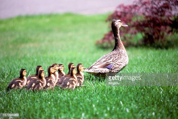 Mumma duck and kids