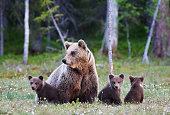 Mother brown bear protecting her three little cubs