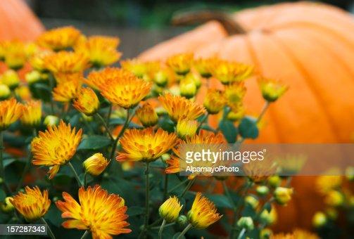 Mums and pumpkins - I