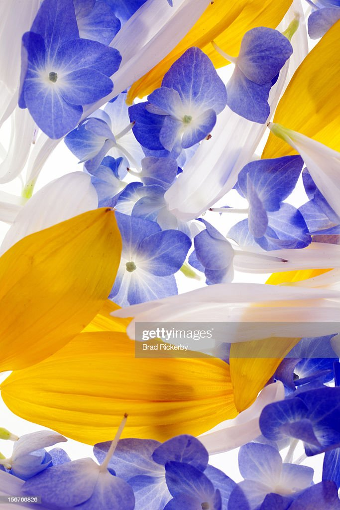 Mums, hydrangea and sunflower petals : Stock Photo